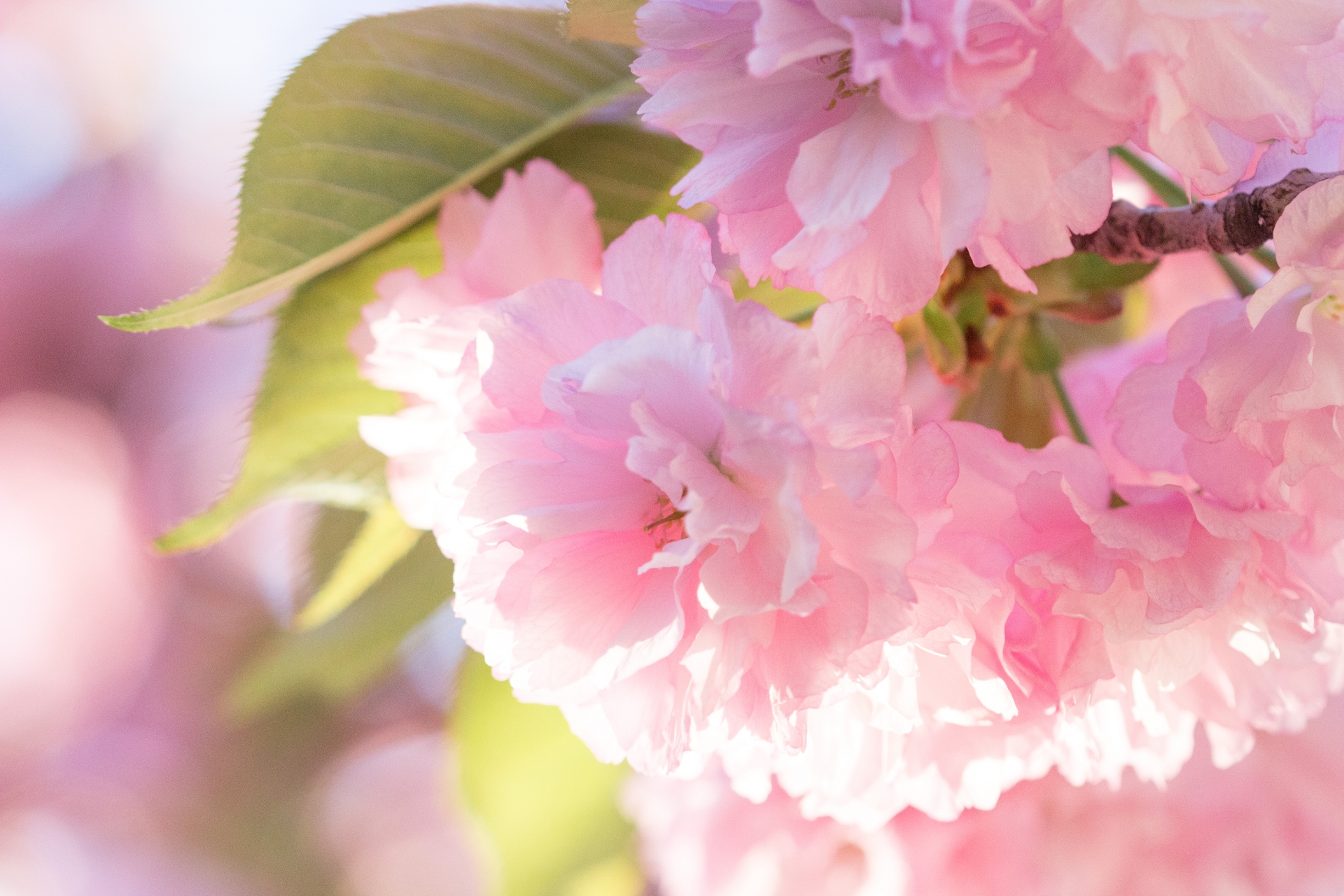 Four Interesting Facts About Cherry Blossoms Shinjuku Guide